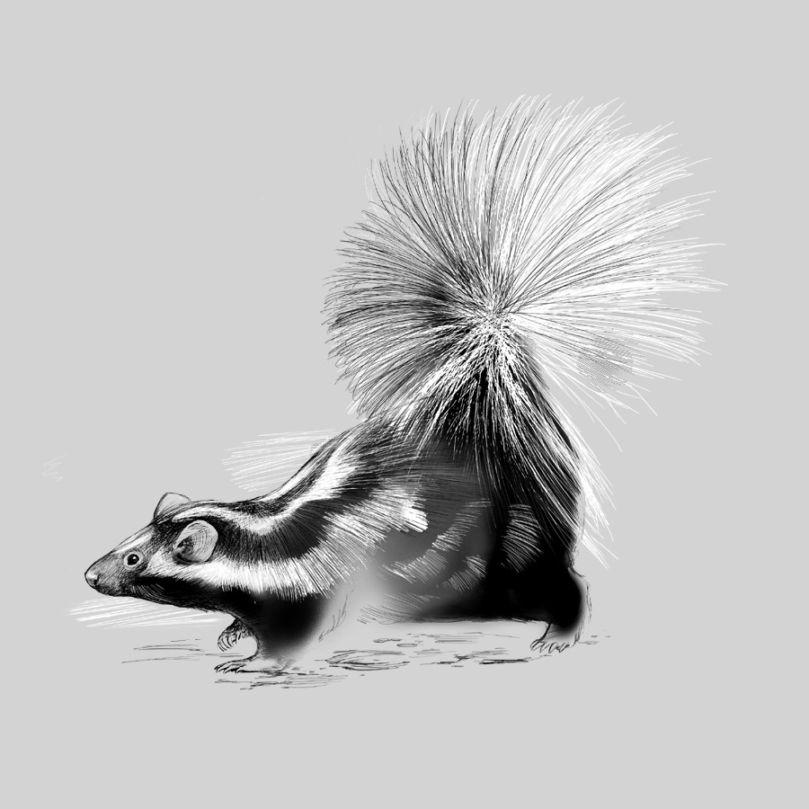 Striped Skunk by Karen Carr